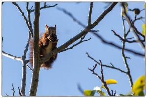 ecureuil-avec-sa-noix